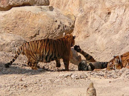 Но большую часть «звериных монахов» храма составляют тигры…Охота на них в Таиланде строго запрещена, но 5 тысяч долларов, которые торговцы готовы заплатить за тигриную печень, совершают своё чёрное дело и на риск готовы пойти многие.